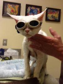 cat receiving laser treatment