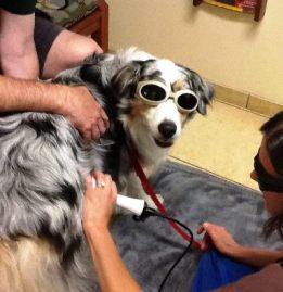dog receiving laser treatment