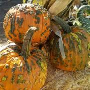 Knucklehead Pumpkins